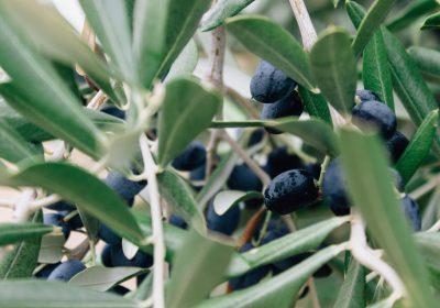 Olives Provence Végétalement