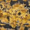 Hamamelis-vegetalement-provence